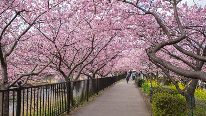 Taman-Sakura-Kebun-Raya-Cibodas